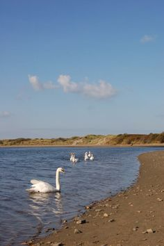Swans on the Nevern Estuary at Newport.