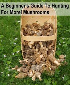 Beginners Guide To Hunting Morel Mushrooms