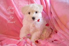 Valentine Puppy Photo ~ You Stole My Heart ~ Baby Animal Photography & Nursery Decor by #NancyJCreates ~ Many print sizes & notecards are available ~ Prints start at $7 and cards start at $3.50.