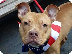 Ridgewood, NY - American Pit Bull Terrier Mix. Meet Tiger a Dog for Adoption.