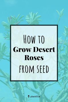 "How to Grow Desert Roses From Seed: Plant 1/4-12/"" deep in good soilless well-draining potting mix. Make sure the soil is moist, not soggy. After you plant the seeds, cover with plastic (for instance, put a ziploc bag over a nursery pot) to ensure the seeds stay warm and humid. Read on at Plantflix.com.... Tropical Landscaping, Tropical Garden, Tropical Flowers, Indoor Activities, Activities For Kids, Container Gardening, Gardening Tips, House Plant Care, Square Foot Gardening"