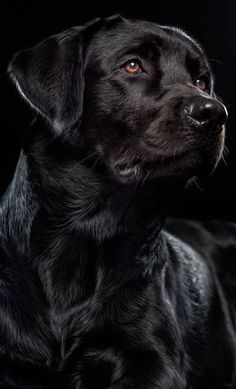 Top 5 smartest dogs in the world: Labrador Retriever Labrador Retrievers, Black Labrador Retriever, Retriever Dog, Beautiful Dogs, Animals Beautiful, Cute Animals, Black Animals, Simply Beautiful, Raza Labrador