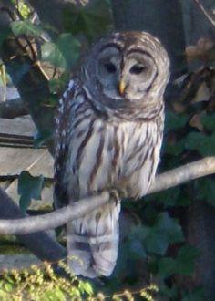 Barred owl in Newark Delaware . Newark Delaware, Barred Owl, Owl Always Love You, Wise Owl, Beautiful Birds, Creatures, Twitter, Barrel, Cute