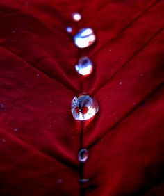 Water drops on poinsettia