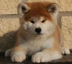 Akita Inus are the most badly behaved dogs around - owning one could even negatively affect your home insurance . | 22 Awesome Things You Didn't Know About Your Dog