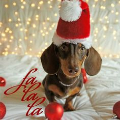 Meet Rex: my mini dachshund puppy who's ready for Christmas :)