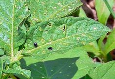How to Control Flea Beetles in the Organic Garden | Planet Natural: Good site overall for pests, beneficials, etc