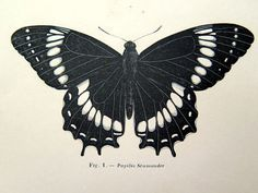 1860 Antique BUTTERFLY engraving print by zoetropeantiqueprint