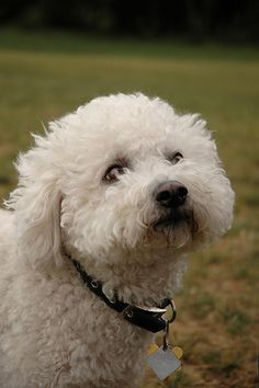 Bichon Friese by lindentreephotography, via Flickr