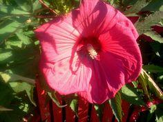 Minnesota hardy hibiscus