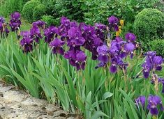 The way to divide the iris? The way to plant the iris? Irises, Garden Planters, Garden Art, Garden Paths, Garden Ideas, Comment Planter, Garden Online, Plantation, English Roses