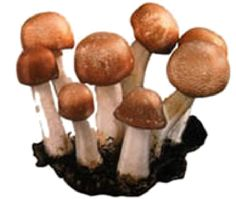 Agaricus blazei Murill / Cogumelo do sol:  Aids Diabetes / Lowers Cholesterol / Stimulates the Immune System / Prevents Peptic Ulcers & Osteoporosis / Heals Digestive & Circulatory Ailments / Anti-viral