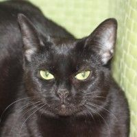 Click to learn more about Ophelia, a one-year-old female black cat available for adoption at @PAWS Chicago
