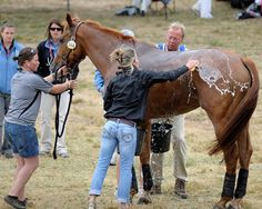 Managing Dehydration, Exhaustion in Horses (AAEP Large Animal Vet, Large Animals, Horse Information, Pet Vet, All About Horses, Horse Tips, Horse Care, Show Horses, Horseback Riding