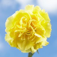 Yellow Carnations   GlobalRose.com