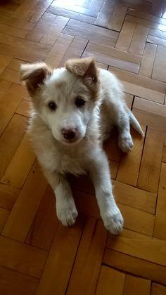 my border collie puppy <3
