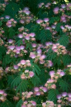 While I was in Tennessee last month I spent some time photographing a mimosa tree. Also known as silk trees, Albizia julibrissin are native to southwestern Asia. Beautiful Butterflies, Beautiful Flowers, Beautiful Places, Albizia Julibrissin, Silk Tree, Flower Images, Birdhouses, Botany, Trees