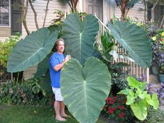 Colocasia Jack S Giant 6 8 With 5 Leaves Elephant Ear Plant