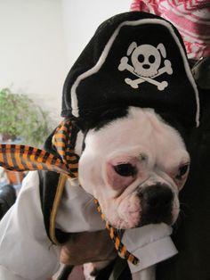 Boston Terrier Halloween Pirate