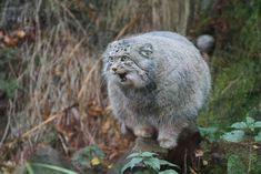 Pallas Cat - unsurprisingly, I want one!