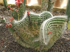 """""""Cleistocactus jujuyensis crestato mostruoso"""" From Chrome research: """"Cleistocactus is a genus of columnar cacti native to mountainous areas - to 3,000 m - of Peru, Uruguay, Bolivia and Argentina. The name comes from the Greek kleistos meaning closed because the flowers hardly open. Wikipedia."""""""