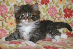 Deedlebug Siberian kitten