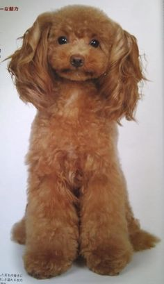 Japanese Grooming of poodle Dog Grooming Styles, Poodle Grooming, Pet Grooming, Asian Dogs, Dog Haircuts, Dog Hairstyles, Poodle Cuts, Creative Grooming, Dog Care