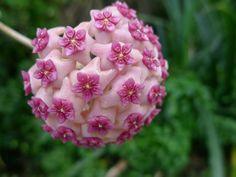 Awesome flower! Hoya aldrichii by John Tann @ Flickr CC.