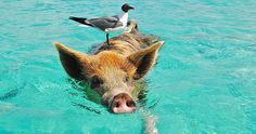 Several of the famous swimming pigs in the Bahamas were found dead, and their deaths could have been caused by tourists feeding them the wrong food.