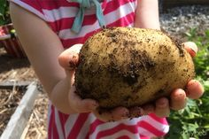 When is the perfect time to harvest potatoes in the garden? The answer is in the visual changes that the plants go through during the growing process.