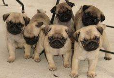 Selecting A Puppy: Male Pug Verses Female