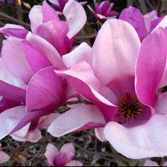 Magnolias...