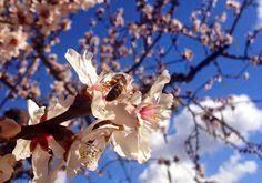 Las abejas siguen trabajando mientras el viento sopla fuerte! Por suerte las flores de nuestros almendros resisten. #Alcalali   #alcalalienflor   #CostaBlanca   #ComunidadValenciana