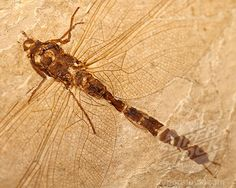 fossil dragonfly - I didn't know if I should save this to Rescue on Nim's Island because it's a fossil, or Dragonfly Song because it's a dragonfly!