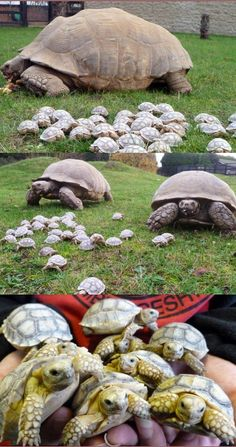 Kali, an 30 year-old, African Sulcata tortoise in Linton Zoo in Cambridgeshire laid two clutches of eggs. She now has 45 babies!!   They will eventually grow to between 24 and 36 inches long, and weigh up to 14 and a half stone!  Love them, possibly among the most gentle, inoffensive creatures on our planet.