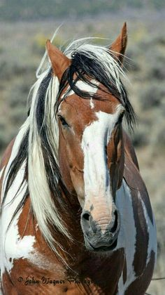 Wild Mustang Paint/Pinto named Picasso. From the Sand Wash Basin herd, in Colorado. - Photo by John Wagner