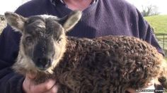 BBC News - Geep: Rare 'goat-sheep' born on Irish farm. This isn't a genetic oops, it's the surprisingly viable result of sexual congress between a goat and a sheep. Farm Animals, Cute Animals, Unusual Animals, Move Over, Country Critters, Animal Kingdom, Sheep, Wildlife, Creatures