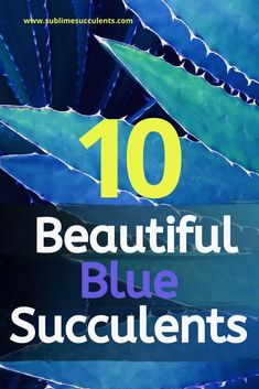 Here are some beautiful blue succulents that will surely make a great addition to your indoor or outdoor gardens. These are also perfect for adding a hint of blue to your fairy gardens, living walls, and centerpieces. Colorful Succulents, Growing Succulents, Succulents In Containers, Cacti And Succulents, Planting Succulents, Cactus Plants, Succulents Wallpaper, Succulents Drawing, Propagating Succulents