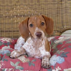 Stanley,     ♥♥♥♥♥♥ dauchshund dauchshunds weenier weeniers weenie weenies hot dog hotdogs doxie doxies ♥♥♥♥♥♥