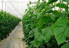 Безопасное , но очень эффективное средство от болезней и вредителей | во саду ли в огороде | Яндекс Дзен