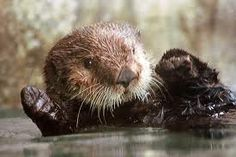 This is my ABSOLUTE favorite animal! Otters are just SO cute! If I had one I would be so happy! Anyways, they are so cute! I love otters :)