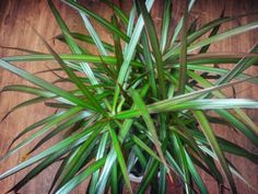 Dracaena Fertilizer Needs: When To Feed A Dracaena Plant