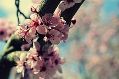 bend blossoms II by mrs. french, via Flickr