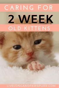 Everything You Need To Know About 2 Week Old Kittens Live Long And Pawspurr In 2020 Kittens Cat Advice Kitten Care