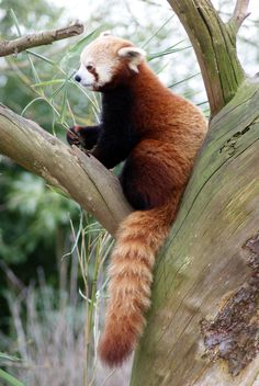 Red panda saw my 1st ones ant the zoo