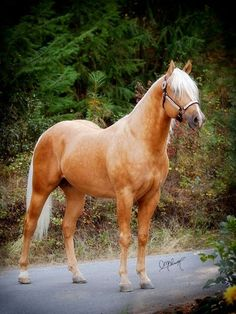 Palomino Stallion / dappled beauty