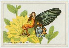 Ornithoptera remus.