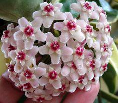 Hermosas flores aterciopeladas en forma de estrella.