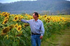 Simon Mattsson walking through sunflowers