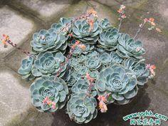Succulent | 蓮座美人系                                        #KATHY--LOVE